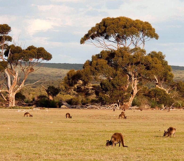 Wyspa Kangurów w Australii